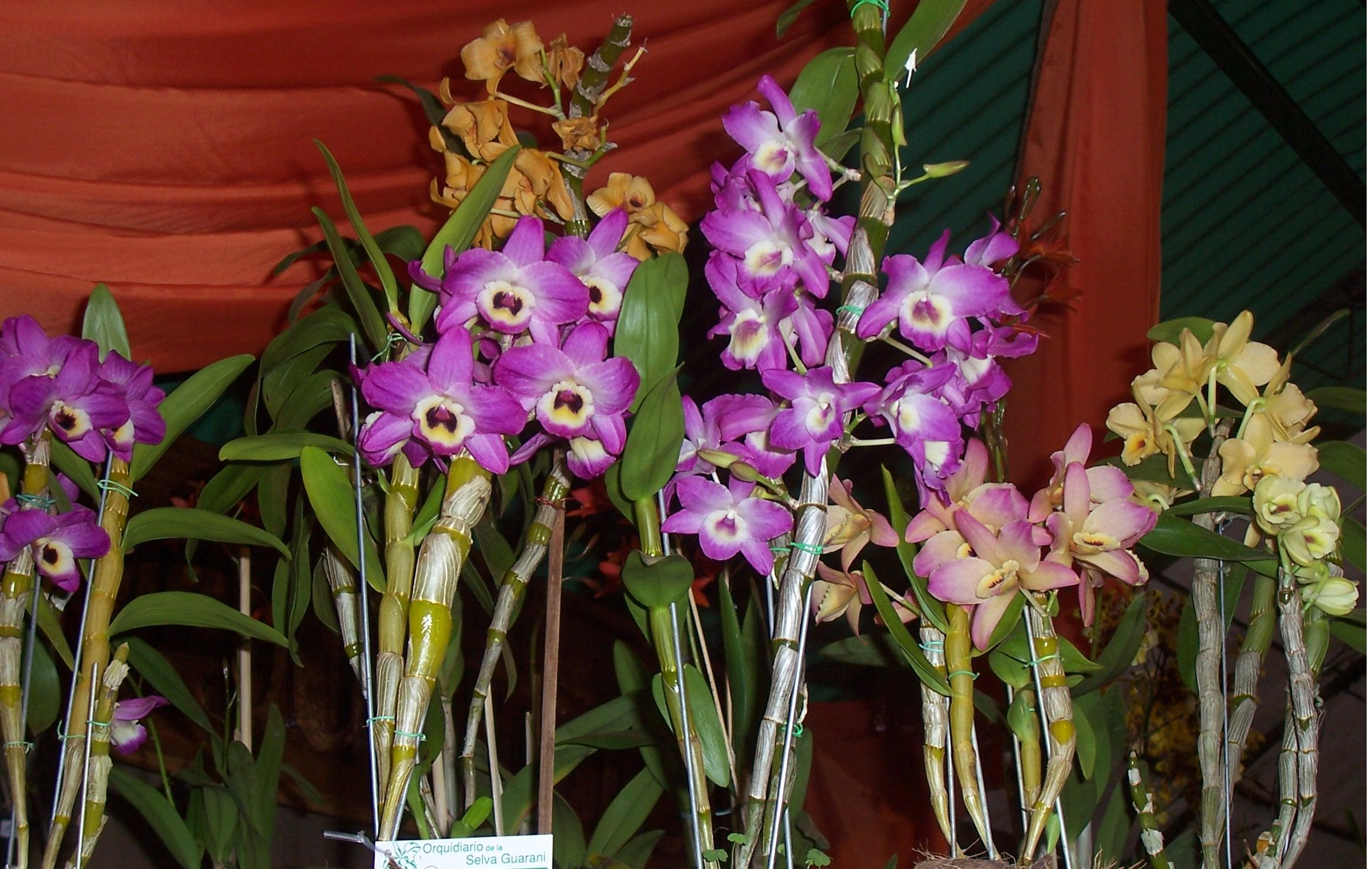 Lepanthes Calodictyon also Plants Gifting Ideas For Green Thumbs also Dendrobium jonesii further ORCH 011 6 6 013 also How To Grow Dendrobium Nobile. on dendrobium orchid care