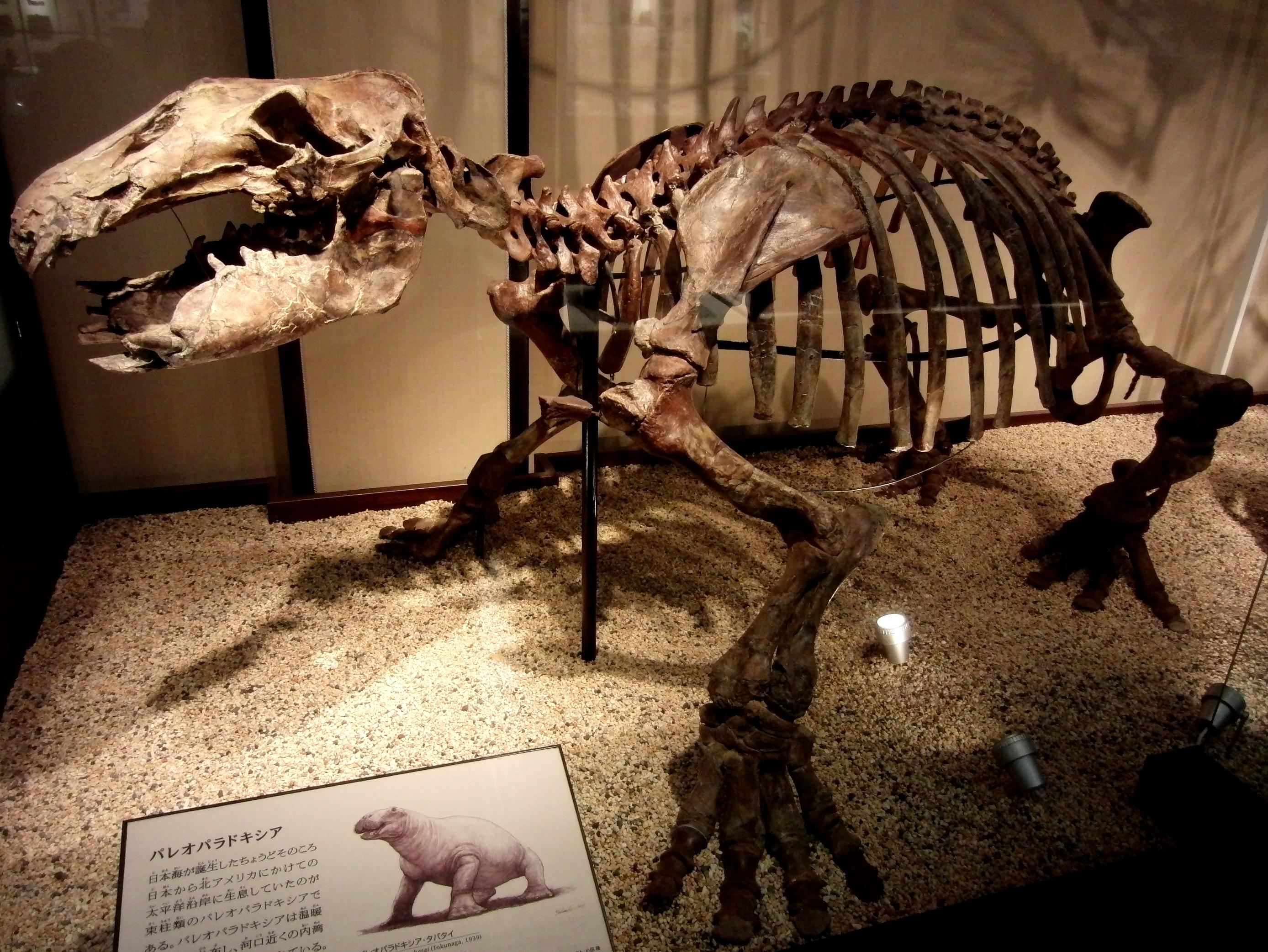 Paleoparadoxia Skeleton.jpg