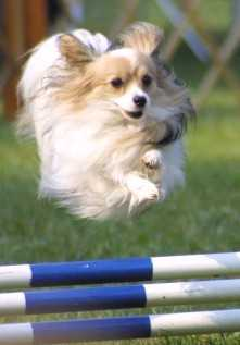 Papillon-dog-agility