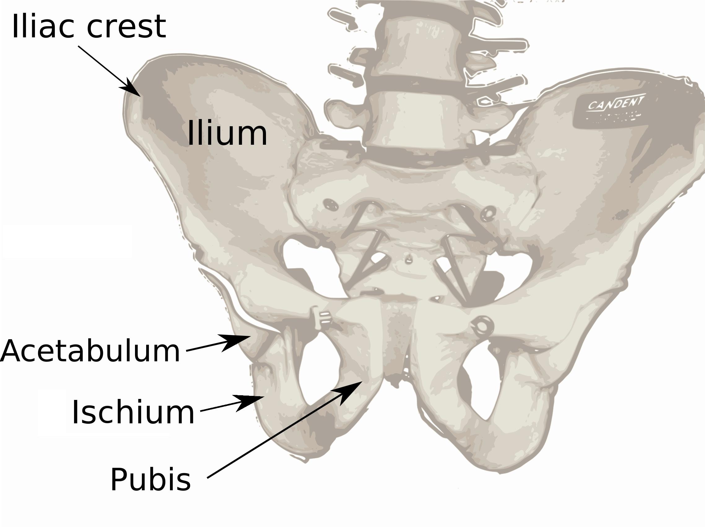 ilium, ischium, pubis