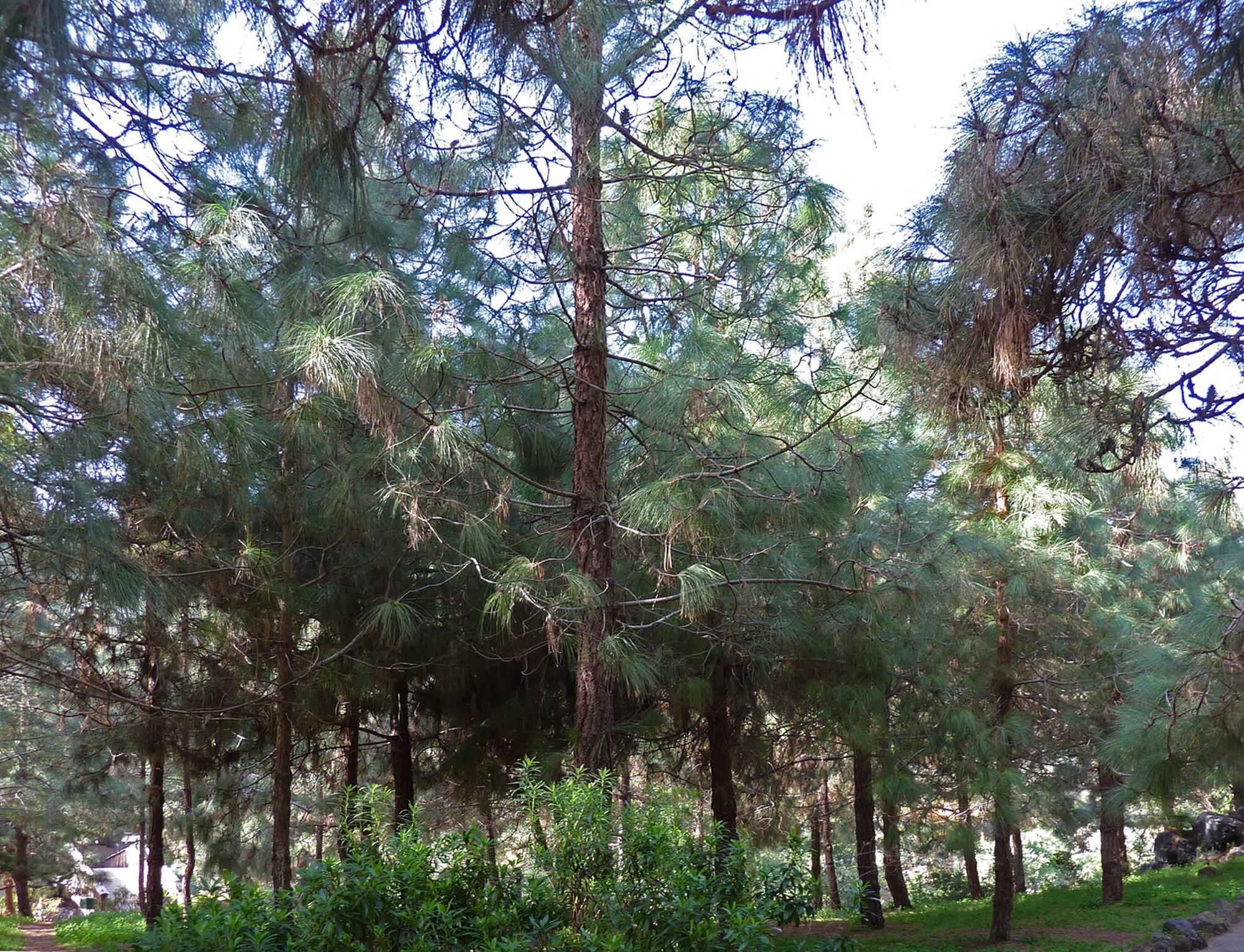File pinus canariensis jard n bot nico canario viera y for Jardin botanico viera y clavijo