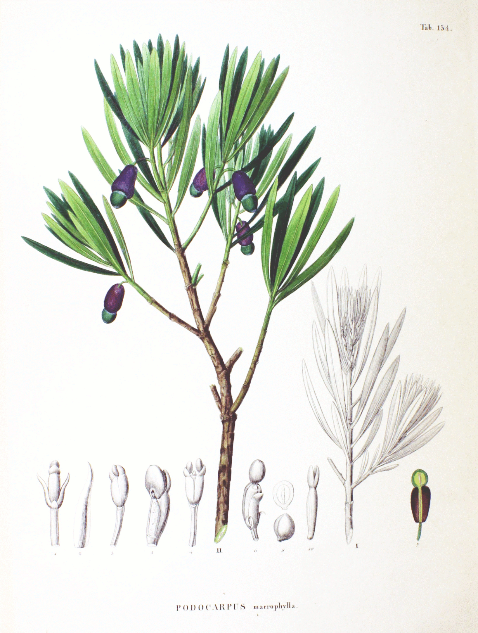Depiction of Podocarpaceae
