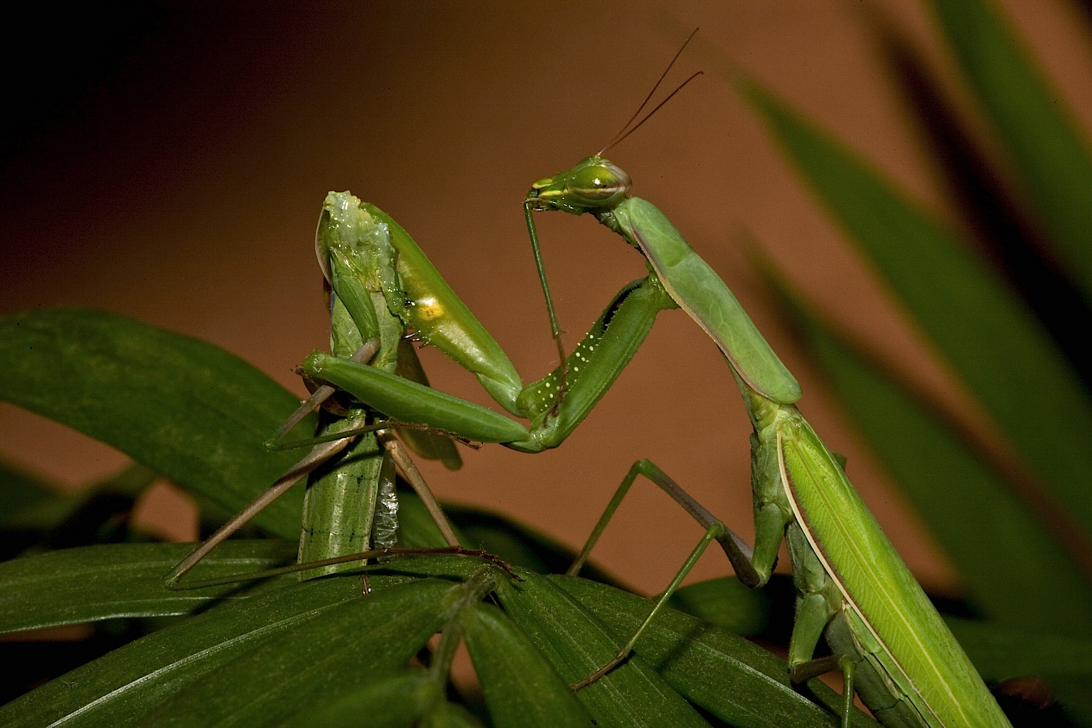 Praying Mantis Sexual Cannibalism, Taken from http://commons.wikimedia.org/wiki/File:Praying_Mantis_Sexual_Cannibalism_European-37.jpg.