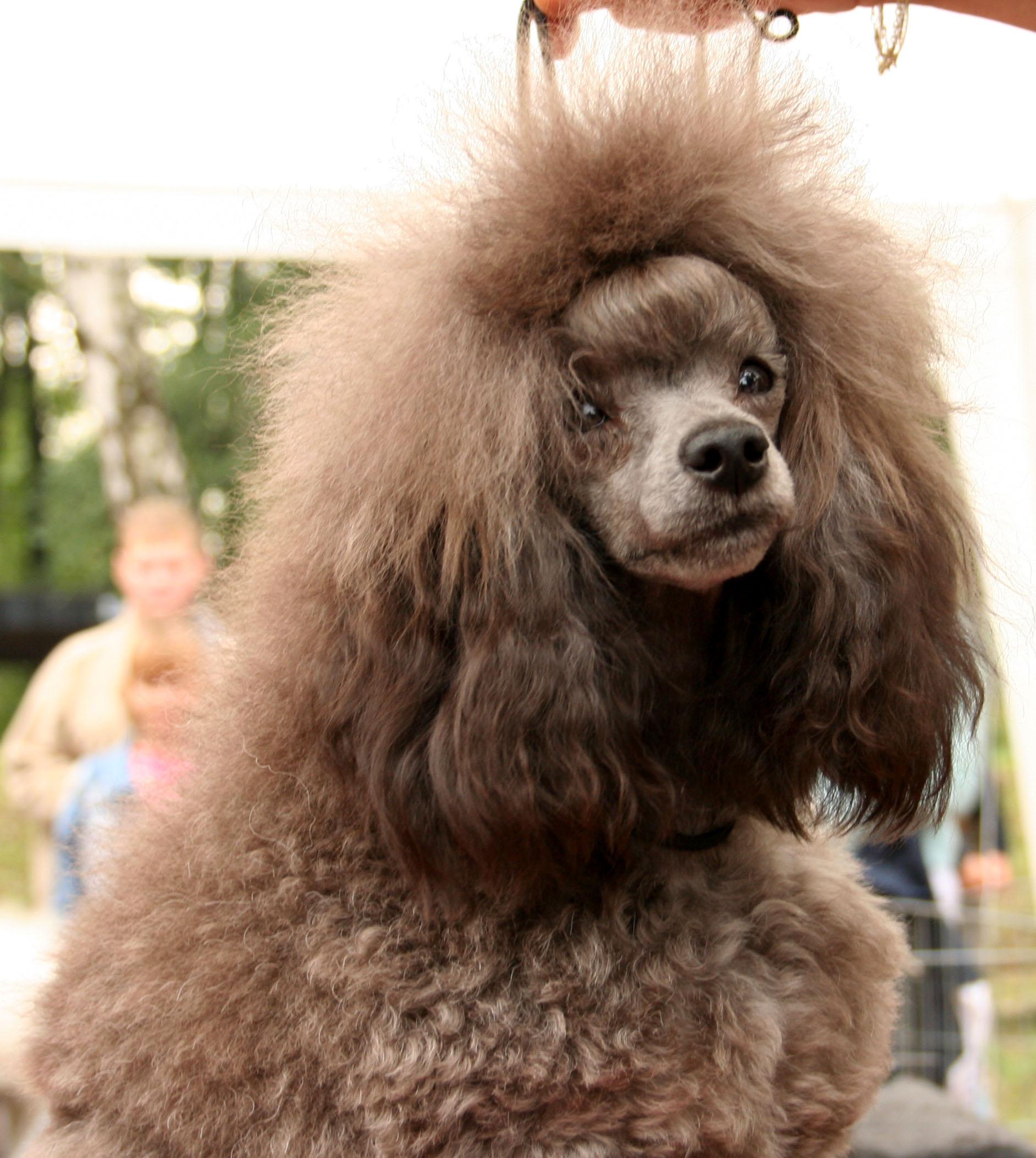 Miniature Poodle Dogs For Sale