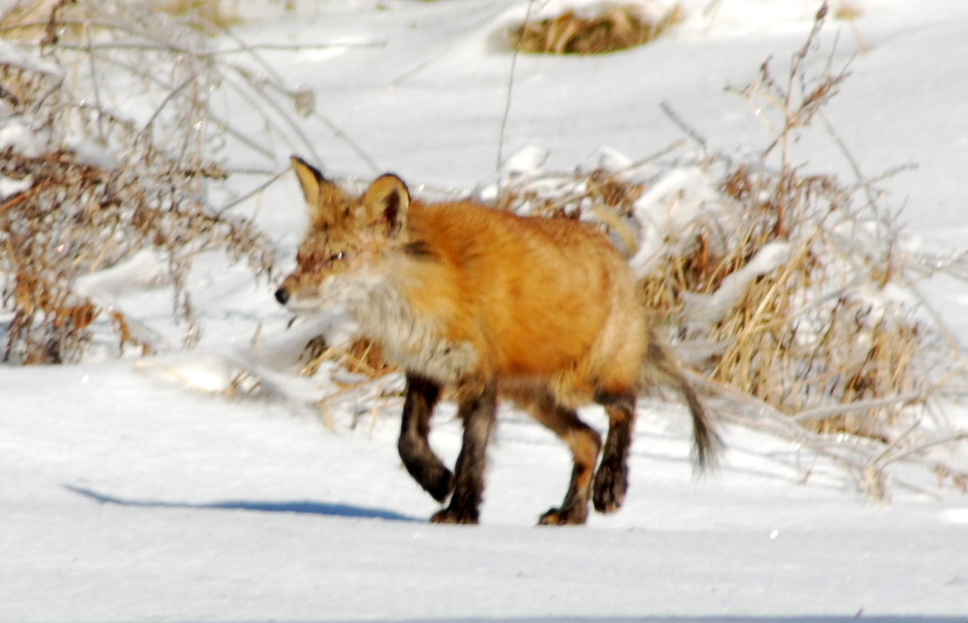Red Fox in search of hunt : Taiga Animals