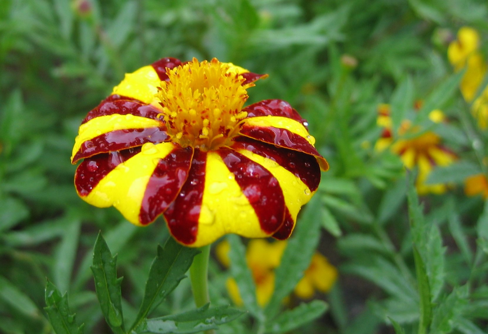 Filered and yellow flowerg wikimedia commons filered and yellow flowerg izmirmasajfo