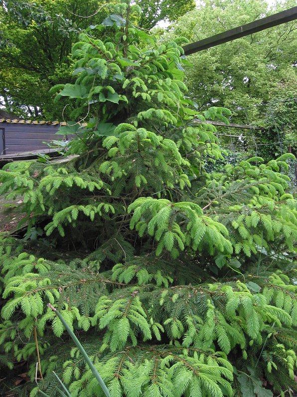 vijf naalden naaldboom