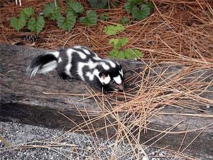 Eastern spotted skunk species of mammal