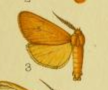 <i>Spilosoma crossi</i> species of insect