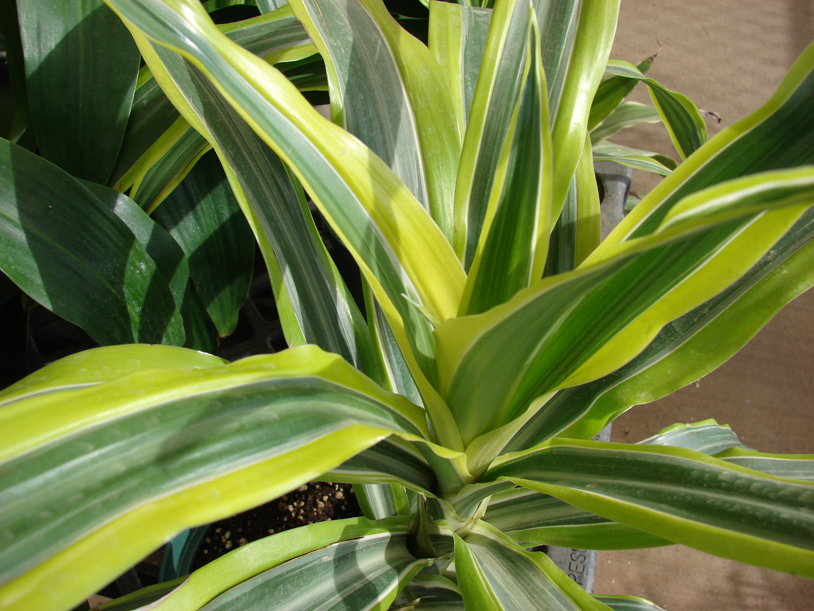 Dracaena Fragrans Lemon Lime Dracaena fragrans.jpg