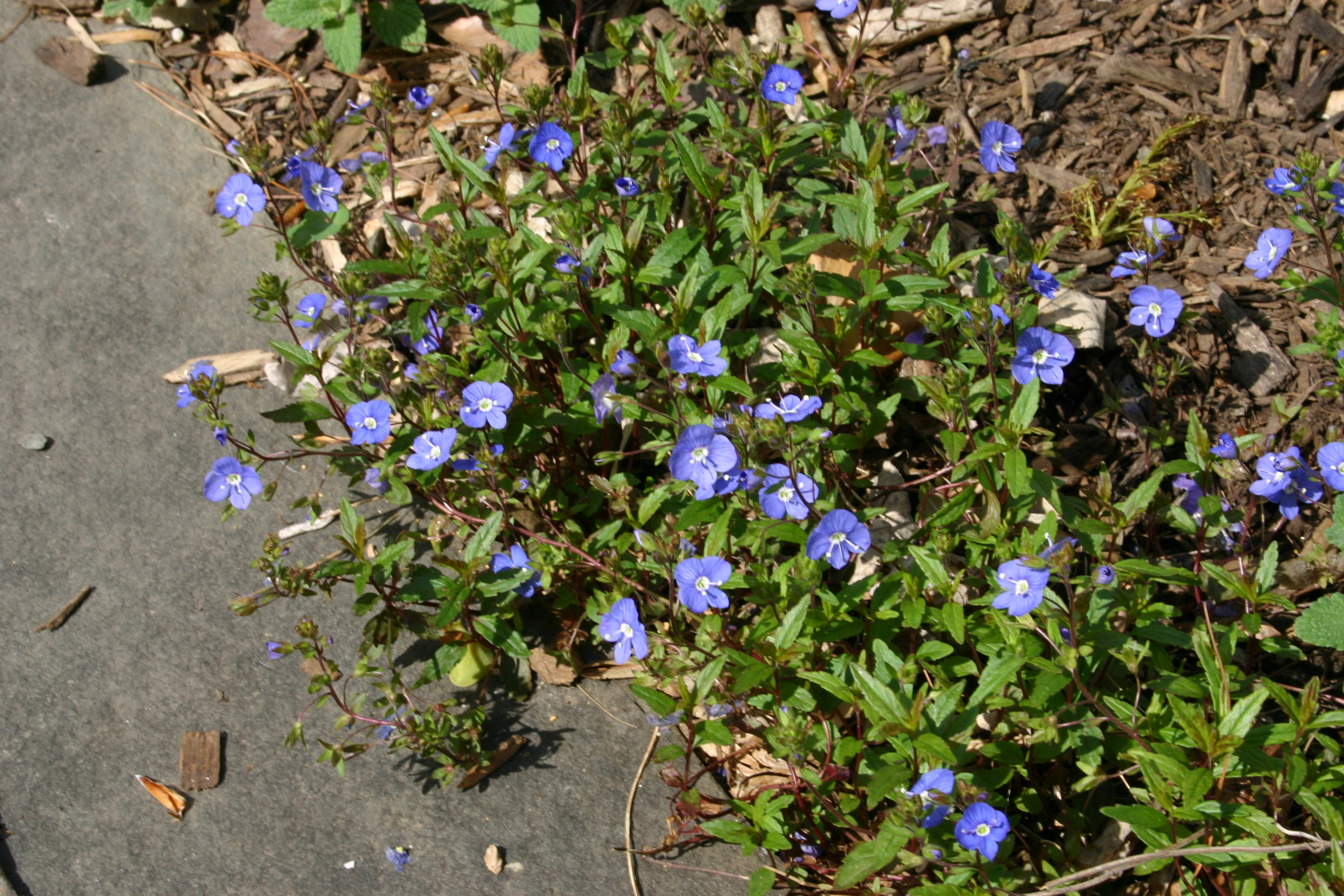 Perennial Plant With Small Blue Flowers Credainatcon