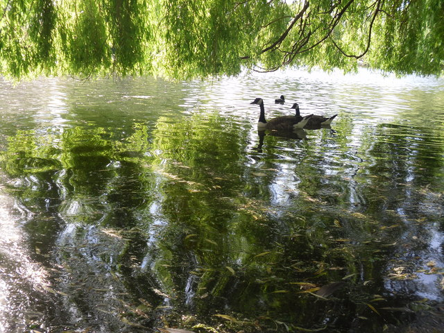 File Weeping Willow Branches Geograph Org Uk 1459523 Jpg