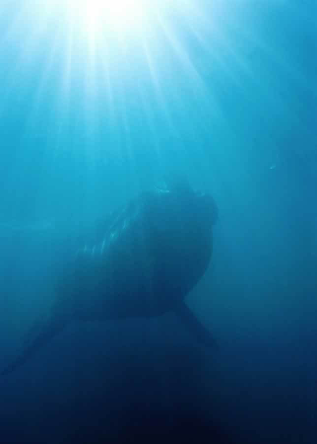 Underwater shot of Southen Right Whale.