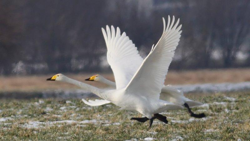 Whooper Swan (Cygnus cygnus) (20)