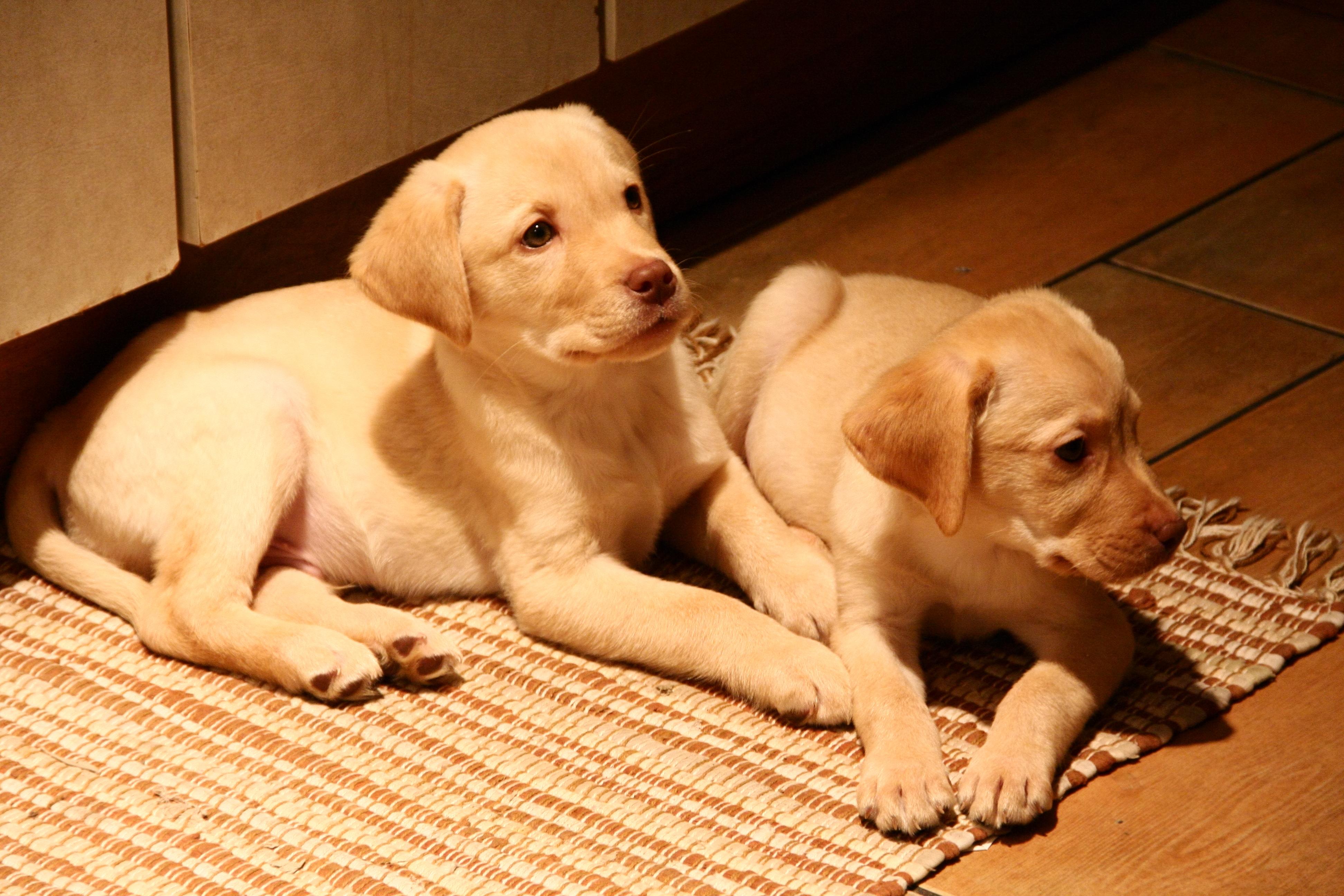 Labrador Dog Puppy Black
