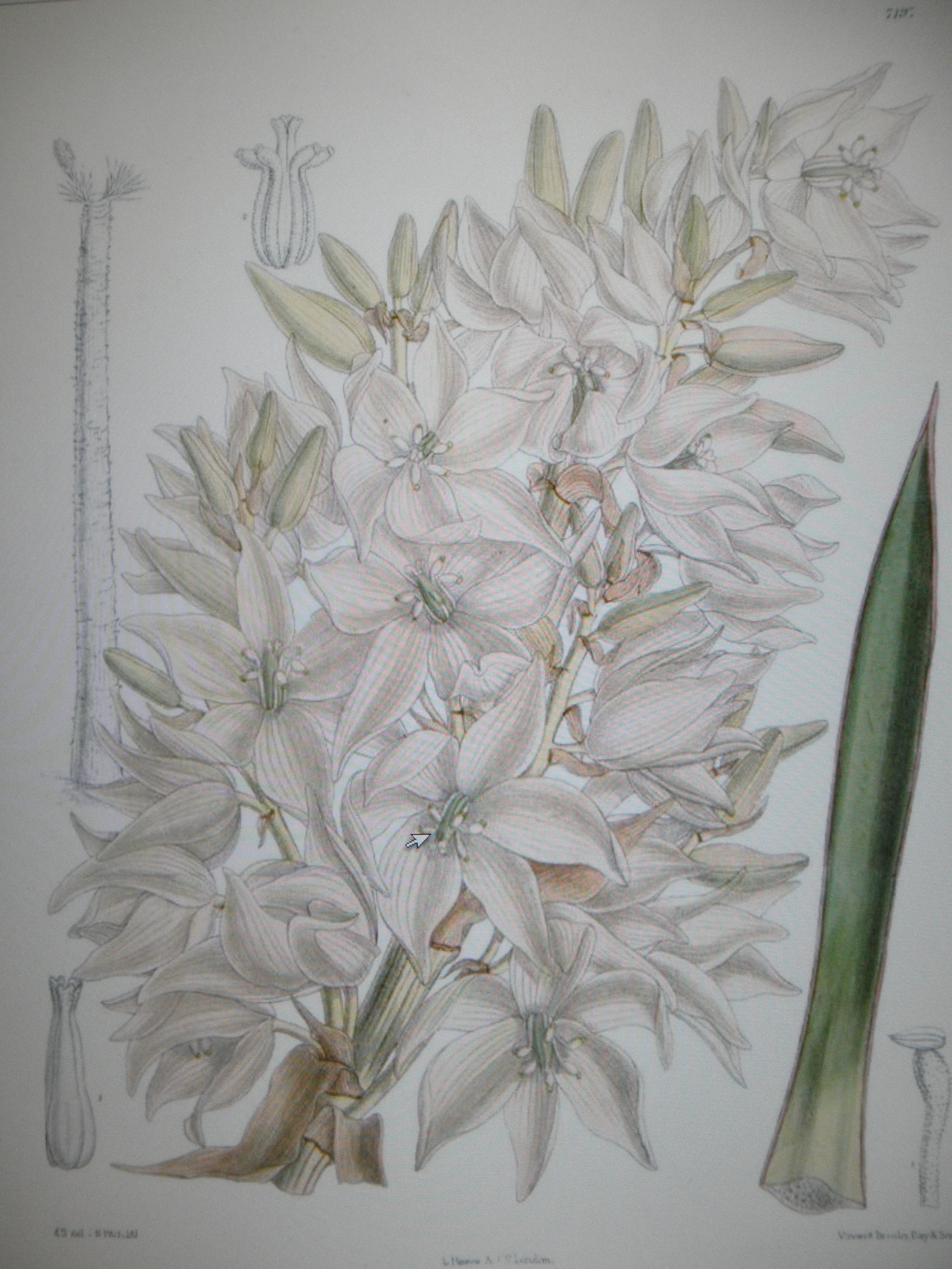 File Yucca Filifera Fleur Jpg Wikimedia Commons