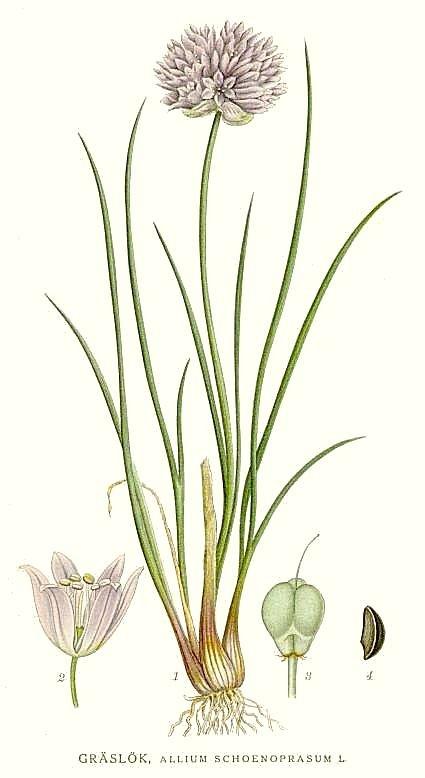 Allium Schoenoprasum Wikipedia La Enciclopedia Libre
