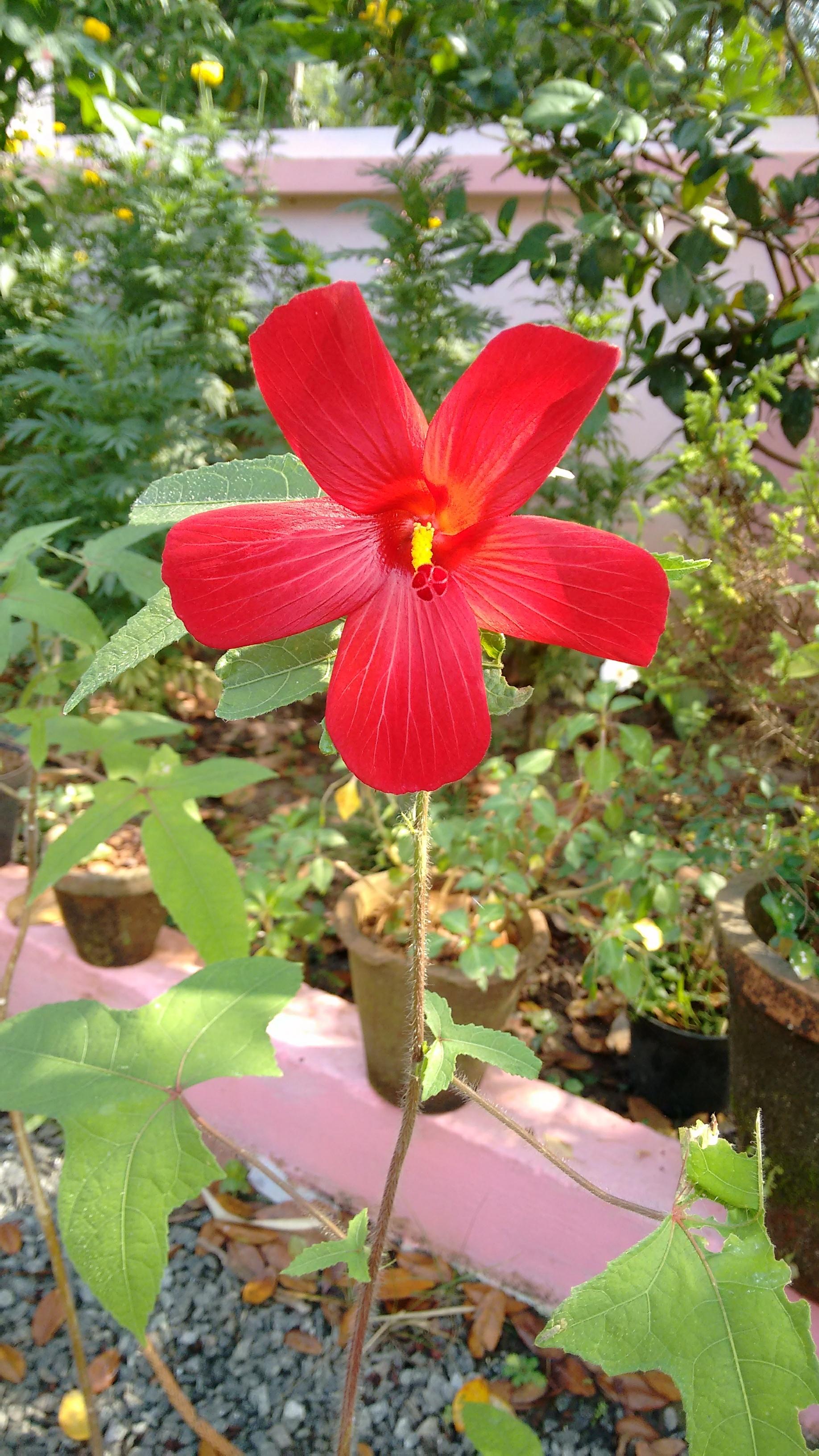 File:Abelmoschus moschatus, annual hibiscus, kasturi-venta jpg