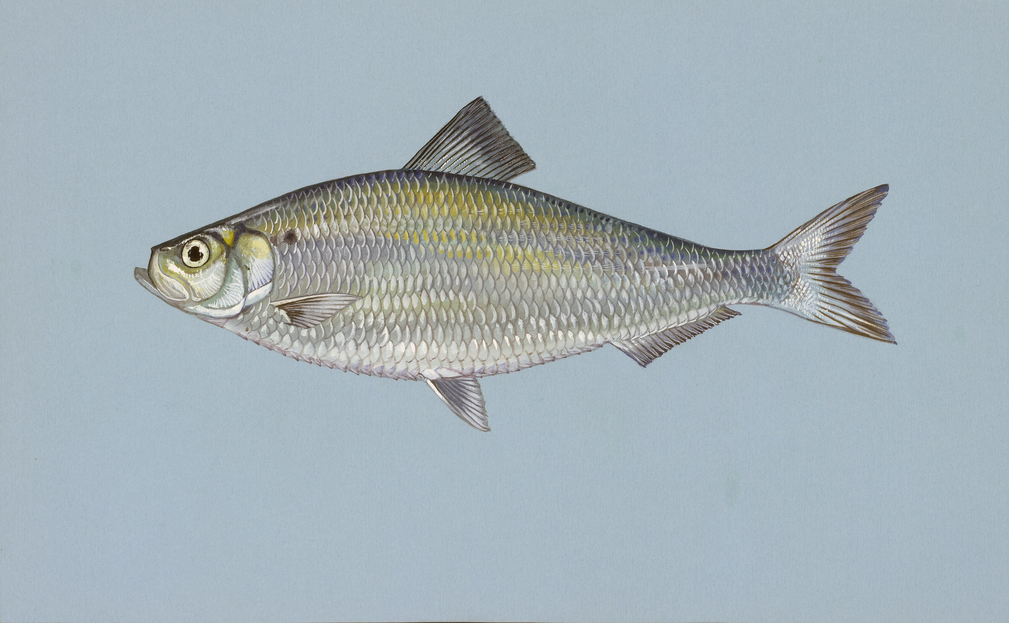 File alewife wikimedia commons for Michigan fishing license cost