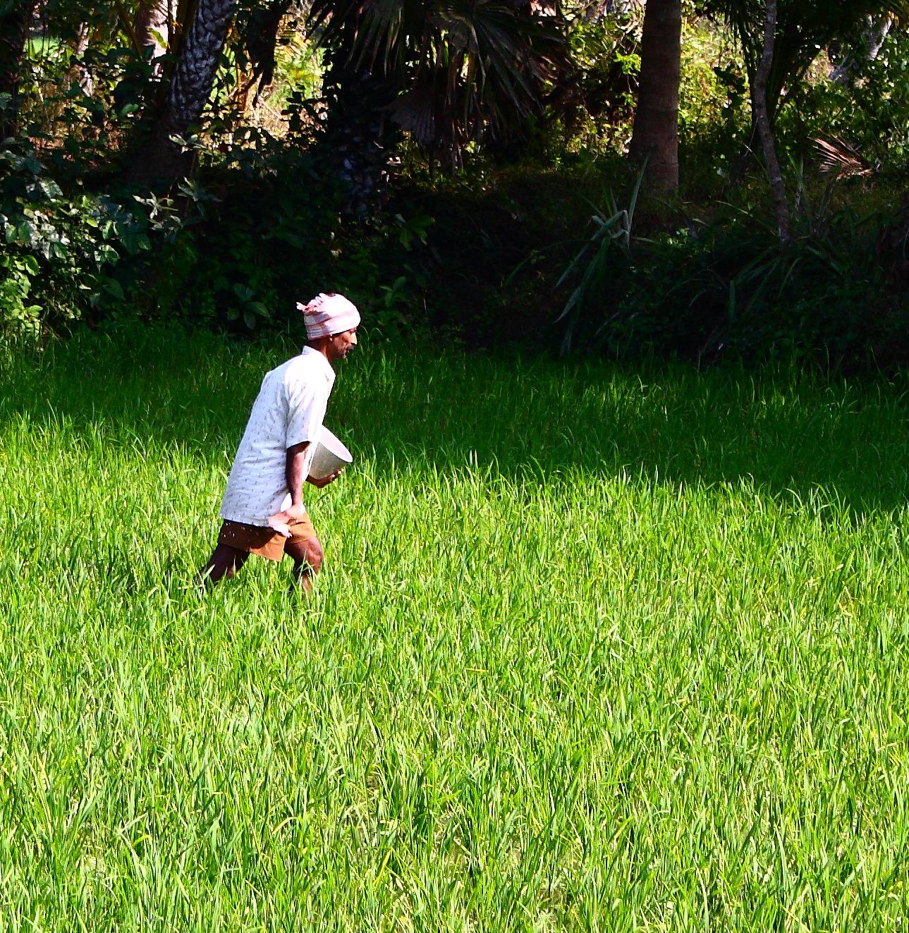 An Indian farmer spreading fertiliser over a crop. Photo credit: Kiran Kumar/Wikimedia Commons [Licensed under CC BY 2.0]