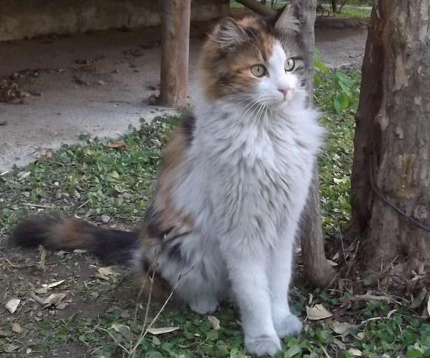 File:Ankara Kedisi (Calico).jpg