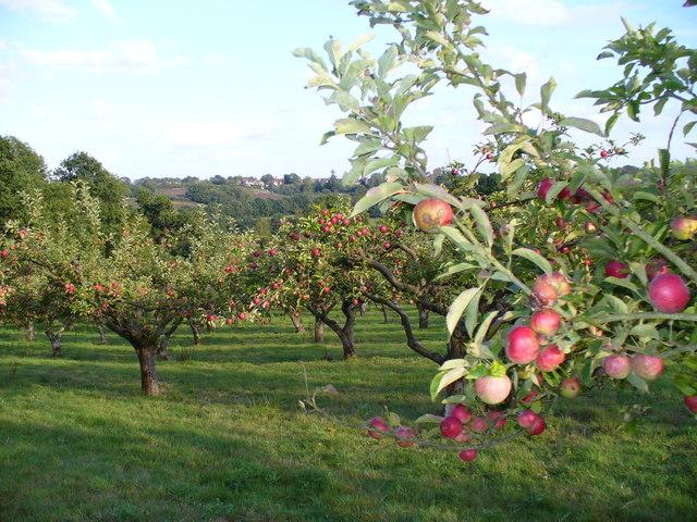 File:Apple Orchard by Mottynsden Farm - geograph.org.uk - 227520.jpg