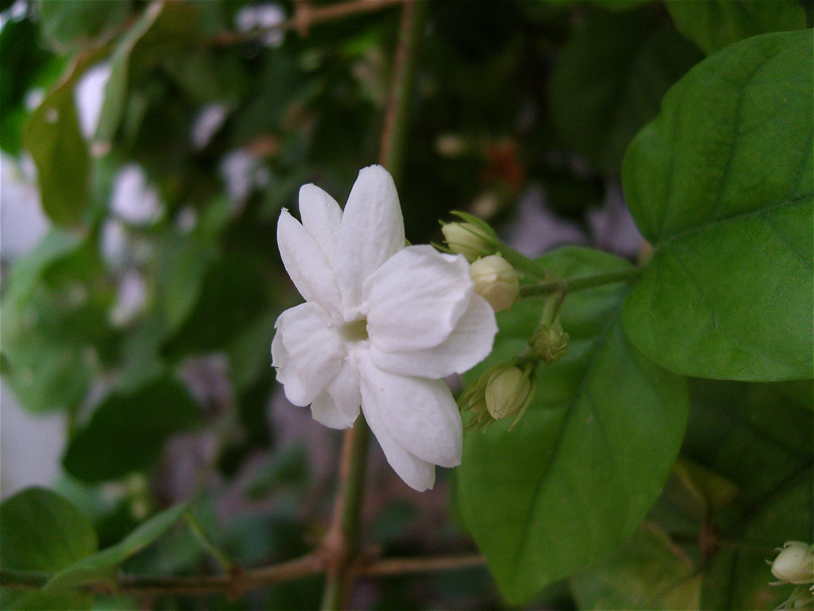 Jasminum sambac wikiwand izmirmasajfo