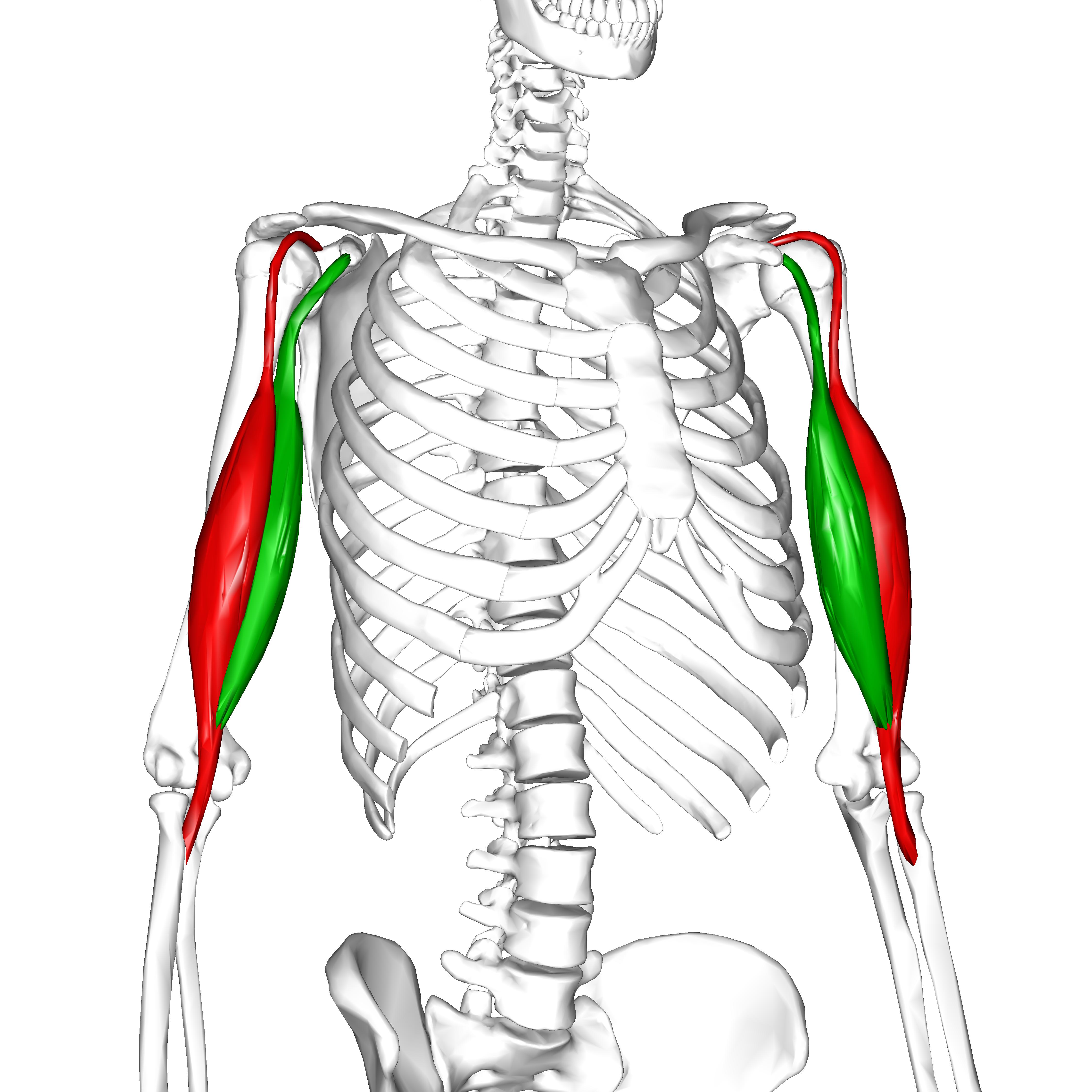 Muscoli della Spalla con origine e inserzione - ConTatto 7b119d46f484