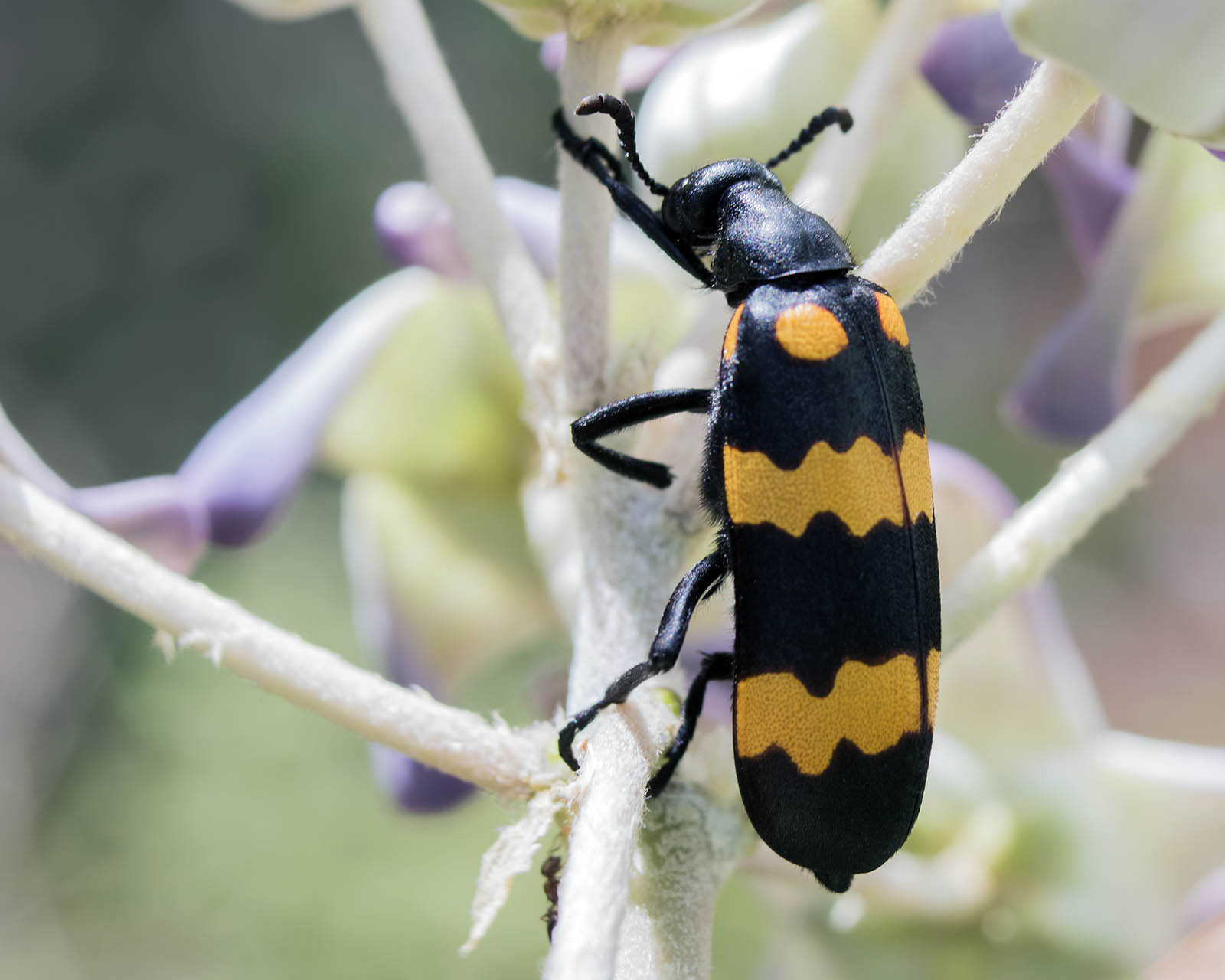 File:Blister beetle (26390828032) jpg - Wikimedia Commons
