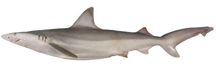 Carcharhinus fitzroyensis csiro-nfc.jpg