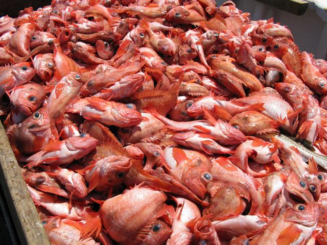 Catch of Acadian redfish