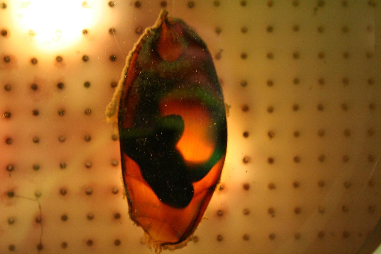 File:Chiloscyllium punctatum egg.jpg - Wikimedia Commons