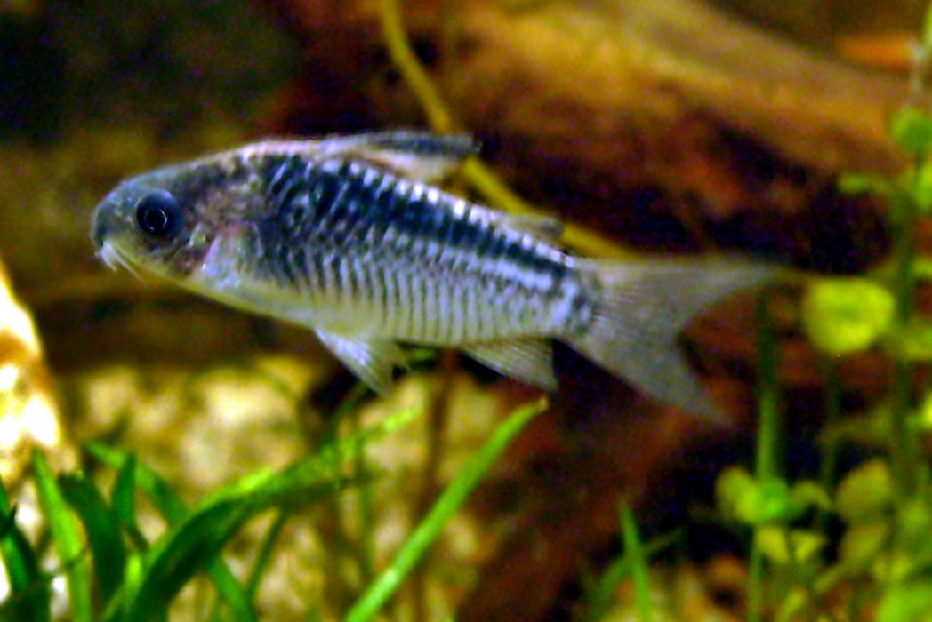 Barbus Arulius: Corydoras