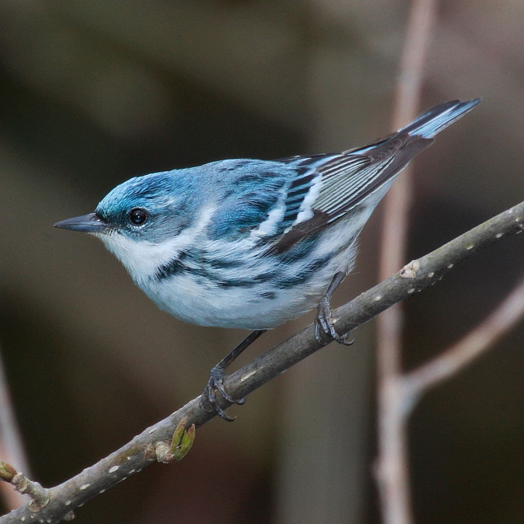 Cerulean Warbler - a common denizen of QUBS