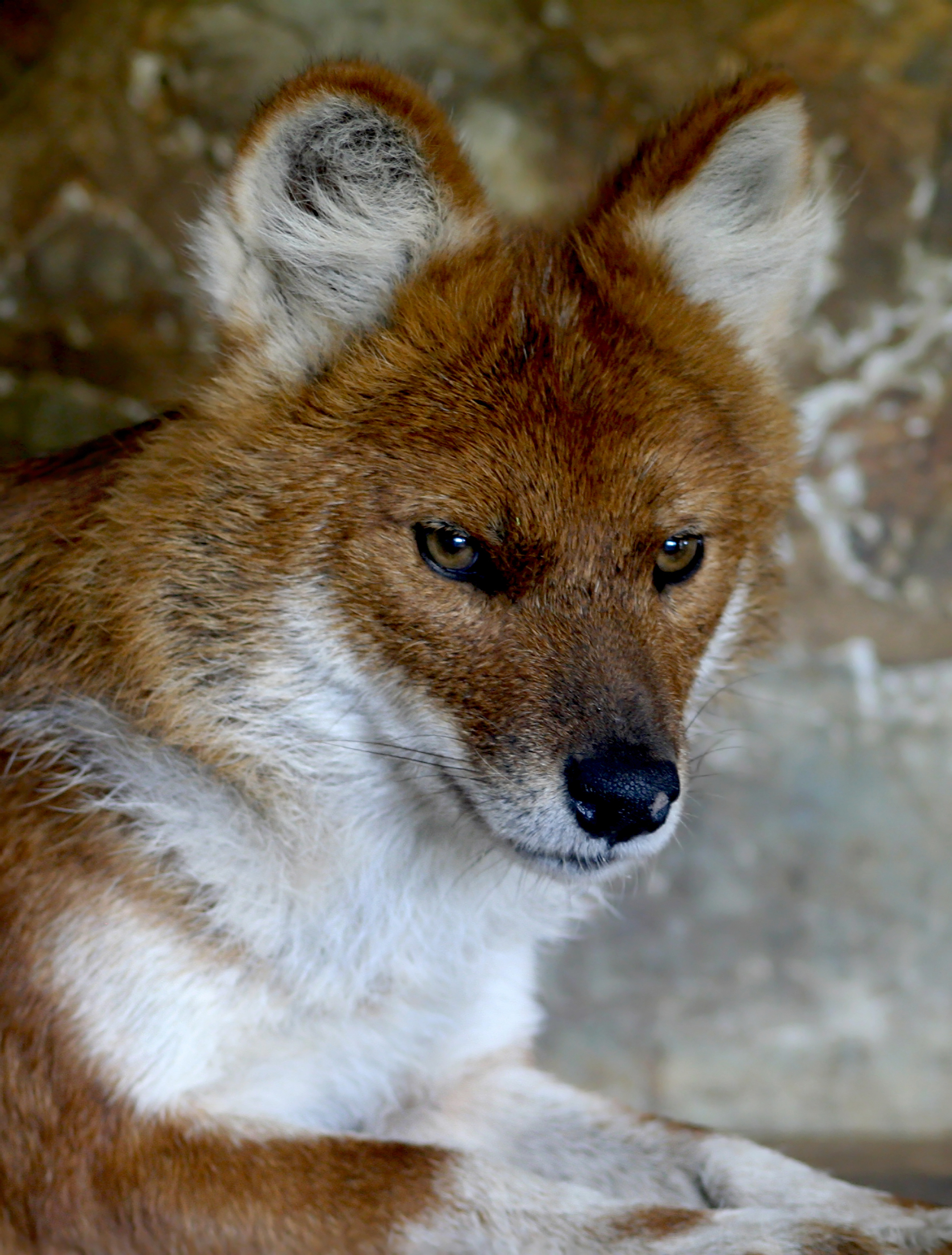 Description Dhole.jpg