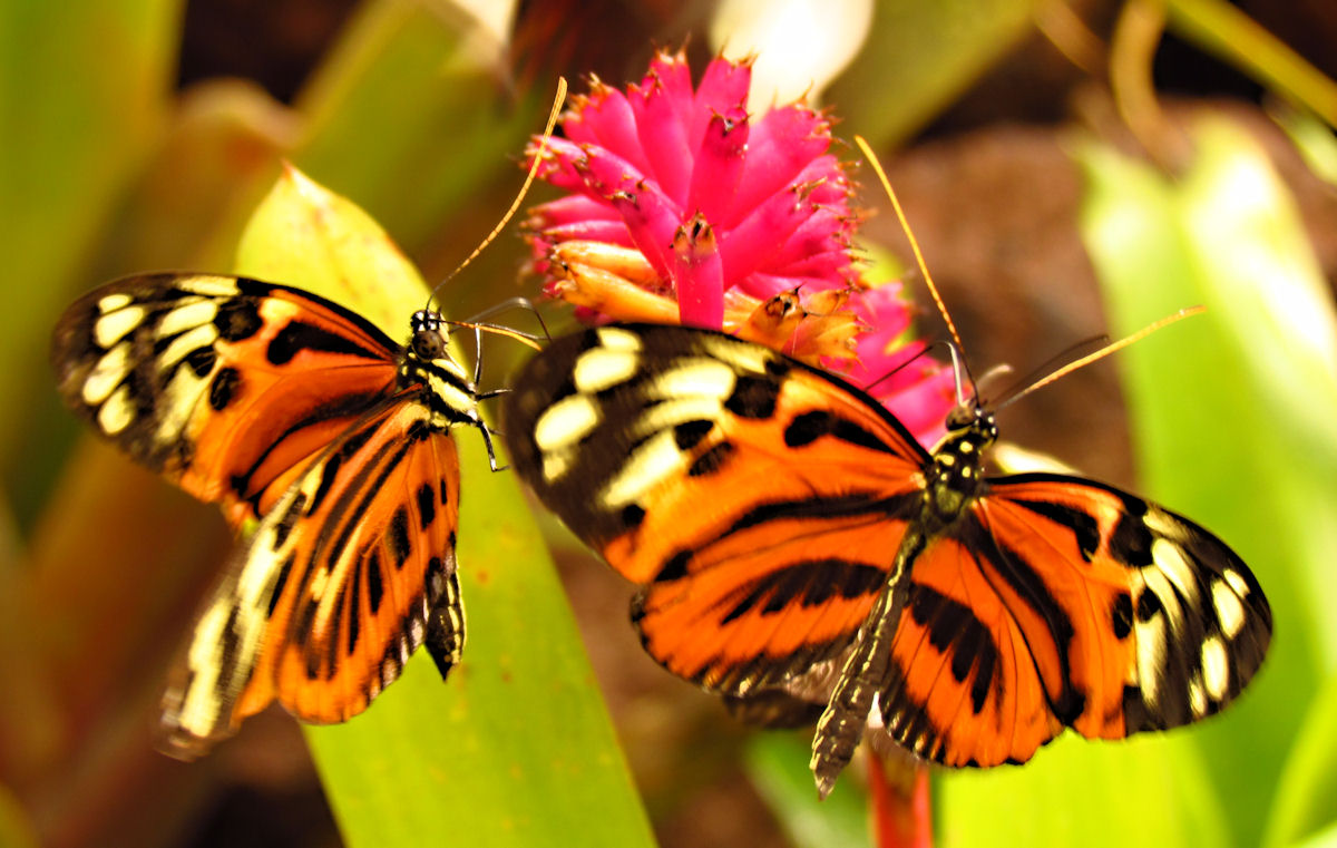 Disturbed Tigerwings, Quito.jpg
