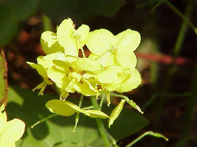 File:Epimedium pinnatum1.jpg