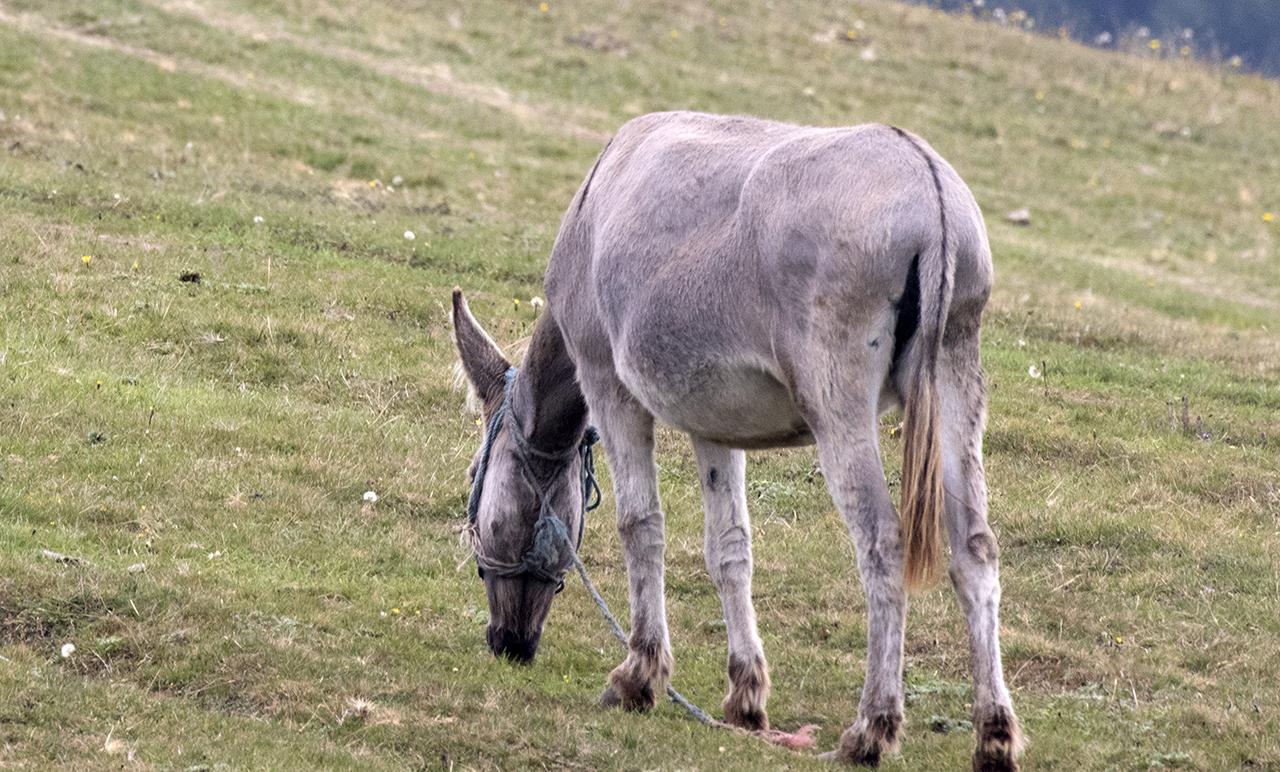 Equus_africanus_asinus_-_Donkey_01-1.jpg