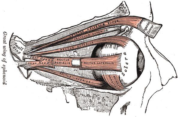 Músculo elevador del párpado superior - Wikipedia, la enciclopedia libre