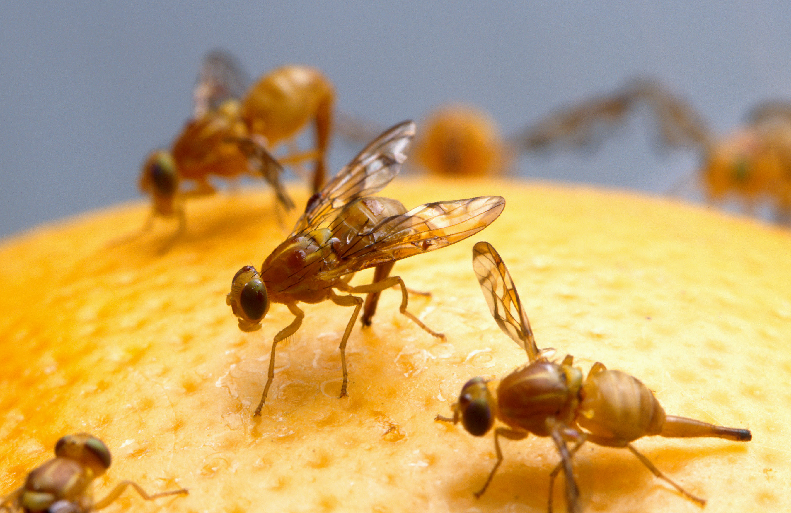 Female Mexican fruit fly