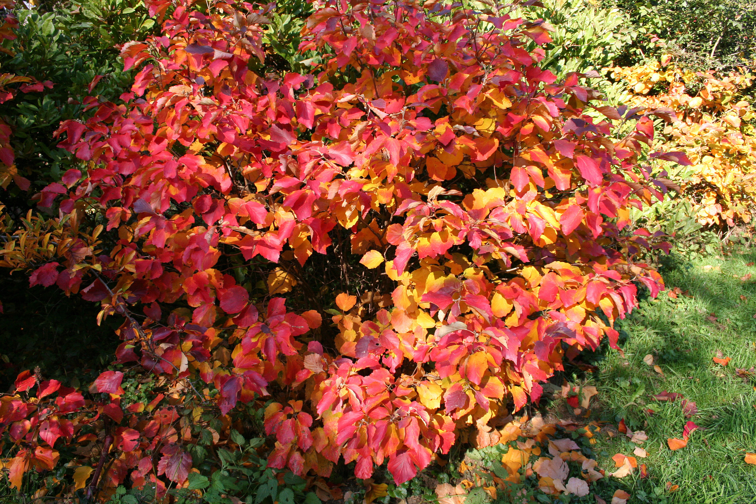 Autumn Flowers File Fothergilla Major Jpg Jpg Wikimedia Commons