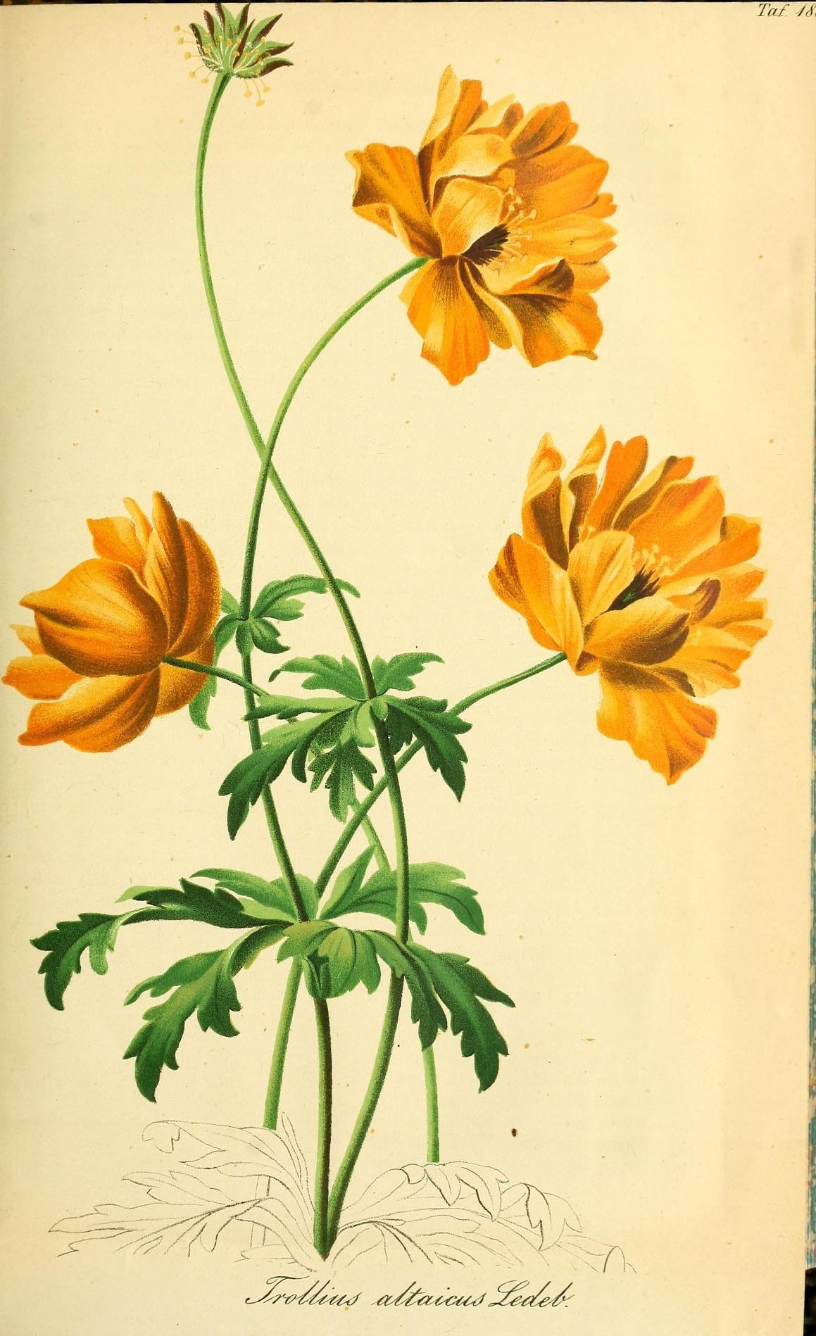 Filegartenflora Taf 188 7535901244jpg Wikimedia Commons