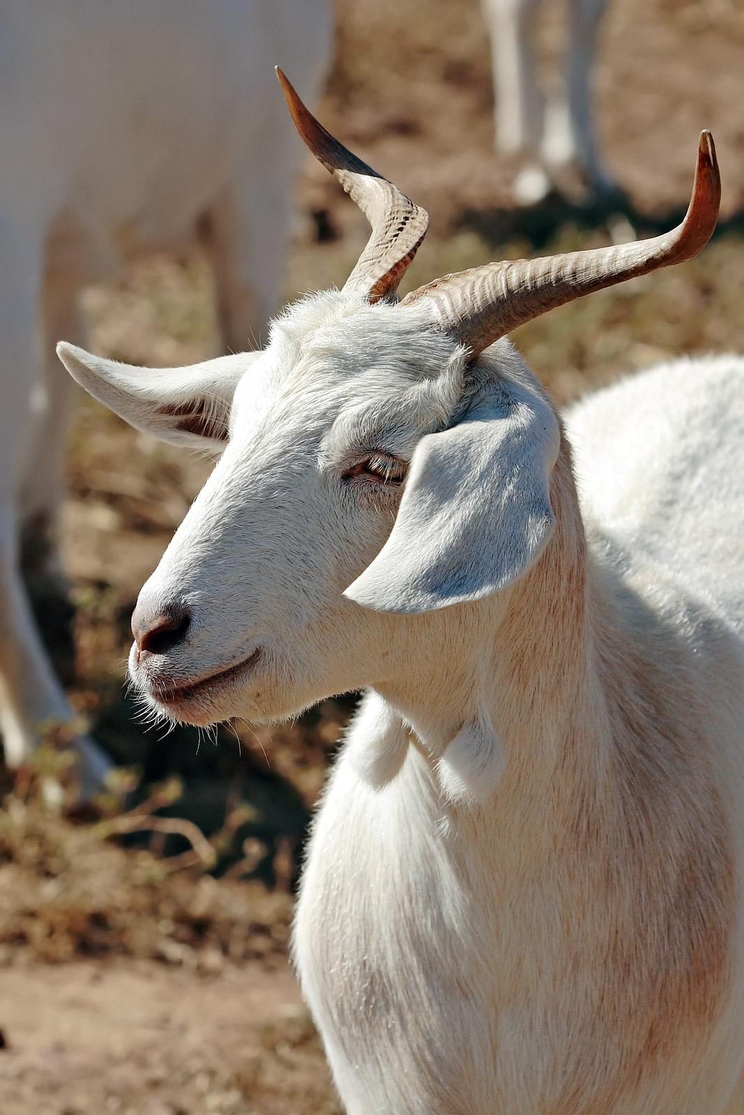 A Goat S Journey Over Life S: File:Goat With Unusual Horns.jpg
