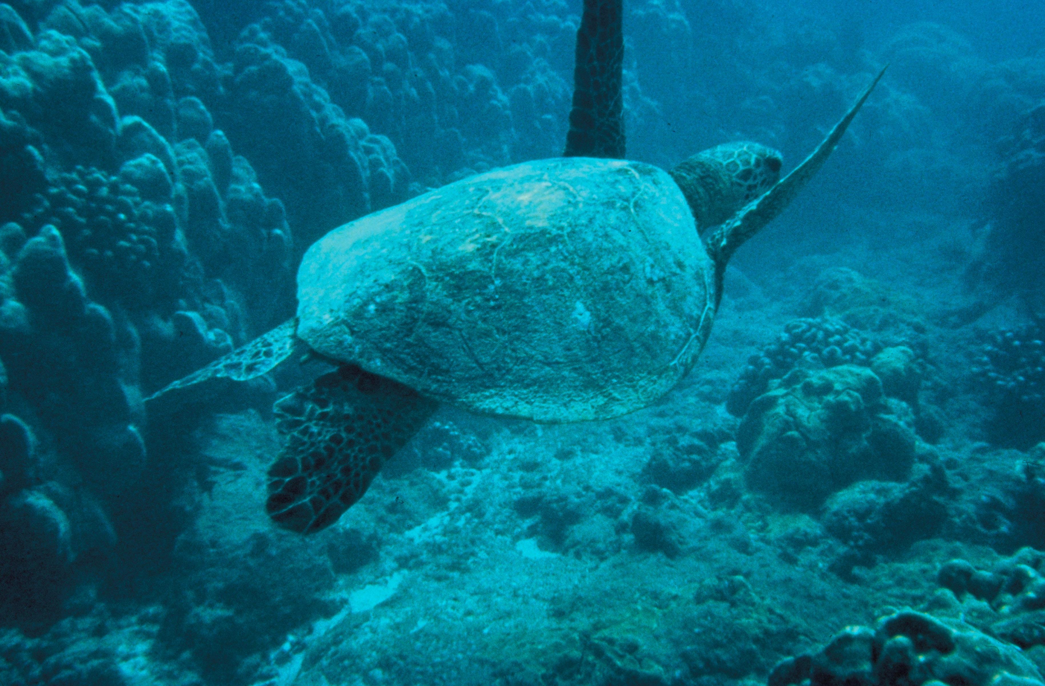 https://upload.wikimedia.org/wikipedia/commons/f/f3/Green-sea-turtle.jpg