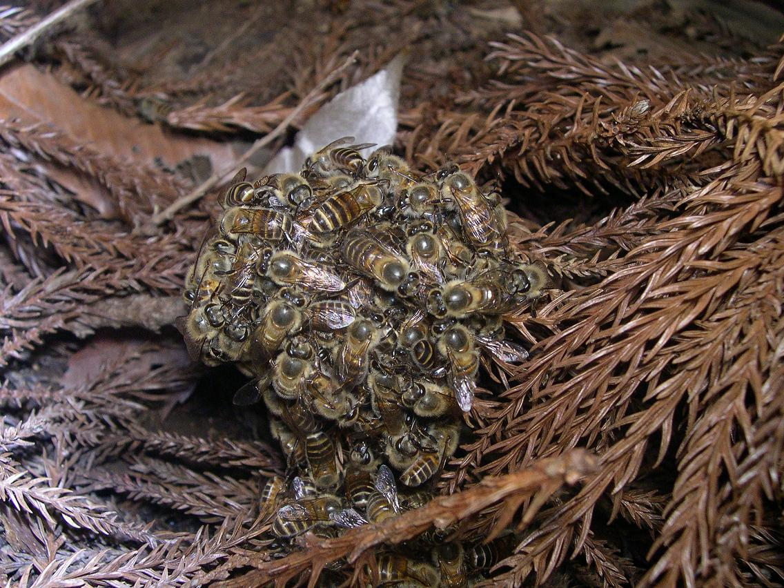 Japanese honeybees swarm and overpower a much larger intruder: the Asian Giant Wasp, and kill it with their body heat