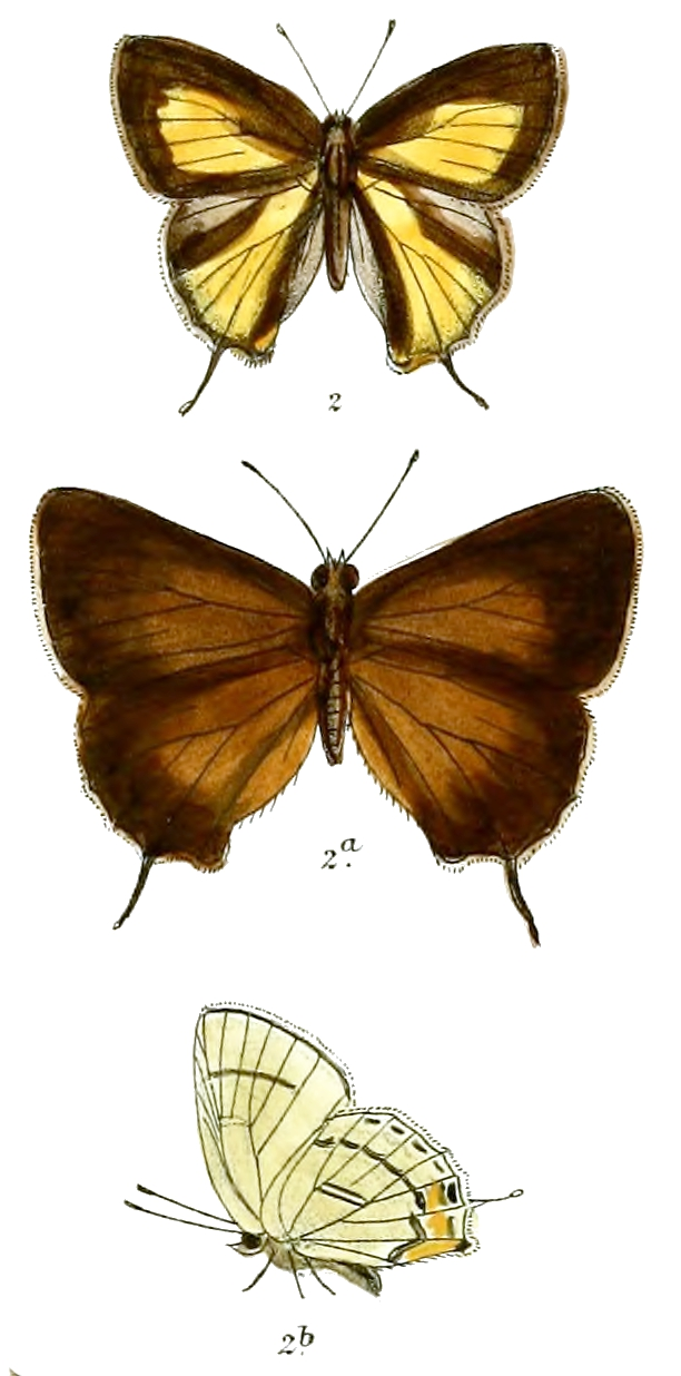 Hysudra hades - Wikipedia