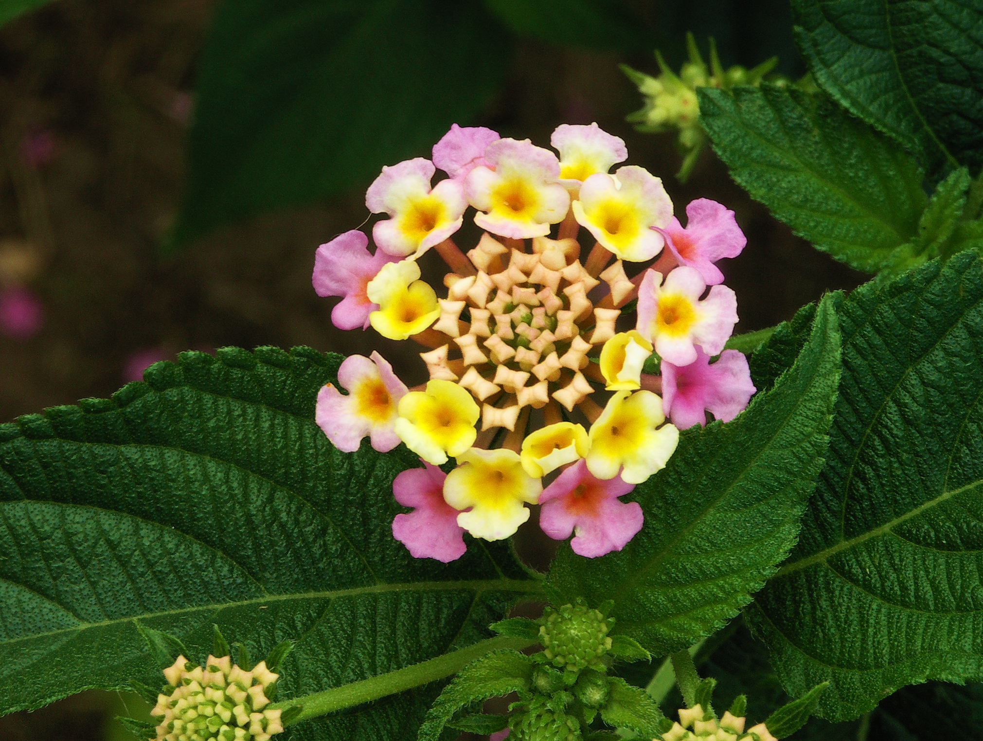Wikipedia:Featured picture candidates/Lantana flower and leaves ...