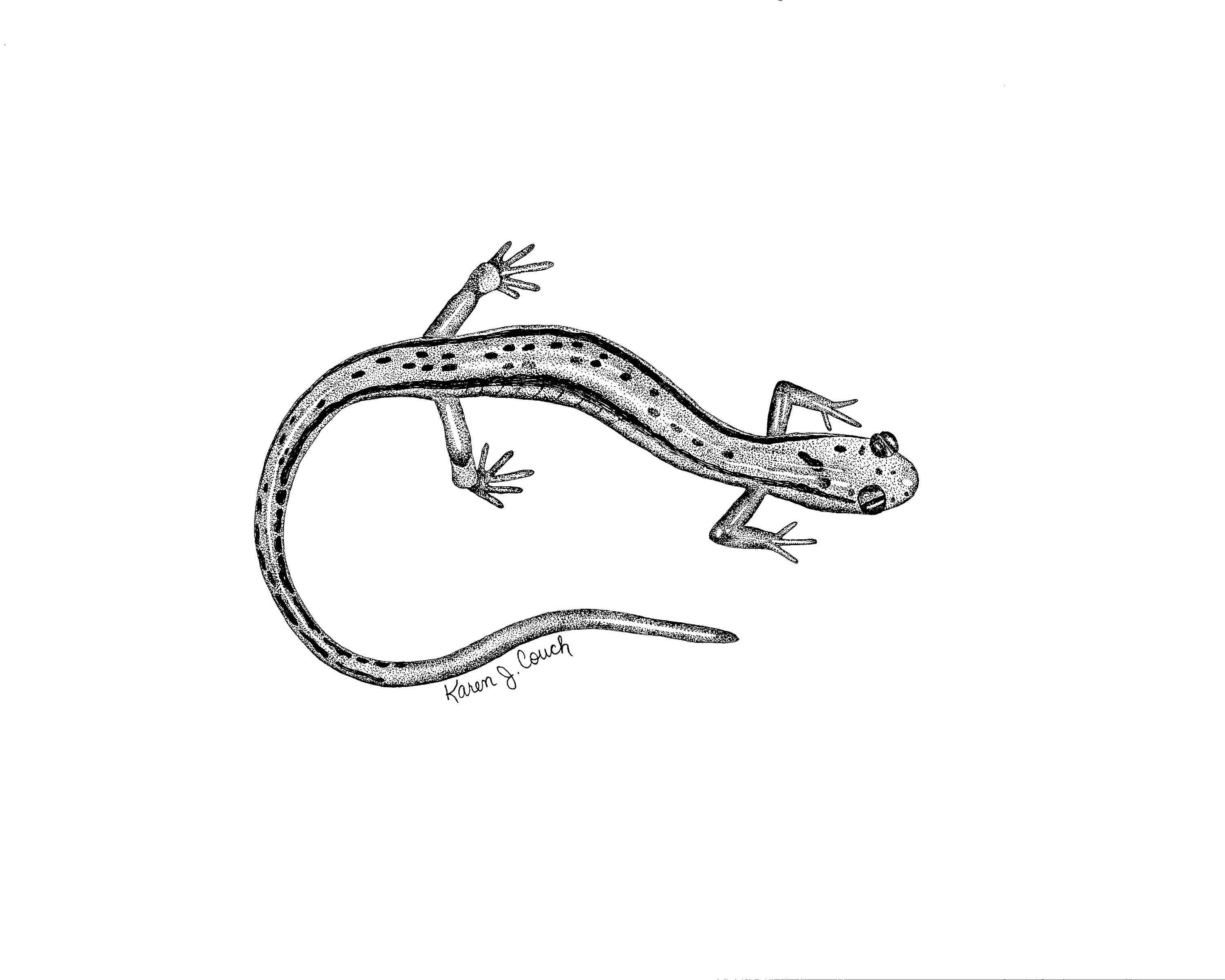 Line Art Black And White Drawing Two Lined Salamander