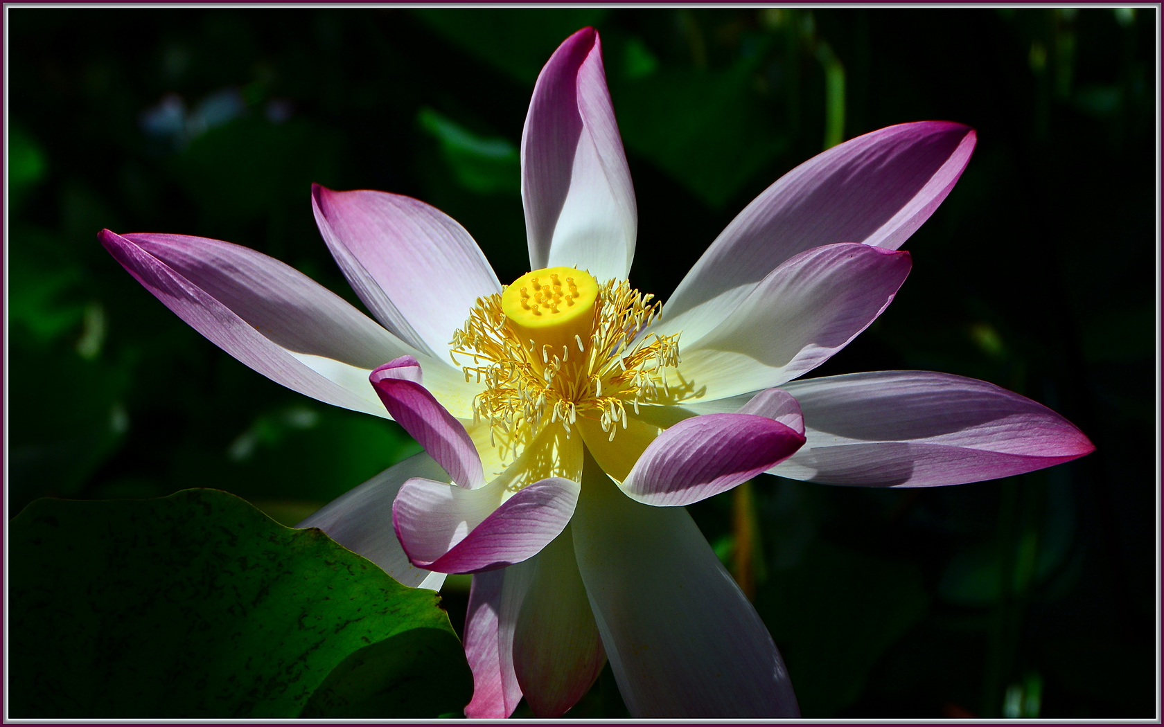 Lotus flower history - File Lotus Flower 9768379264 Jpg