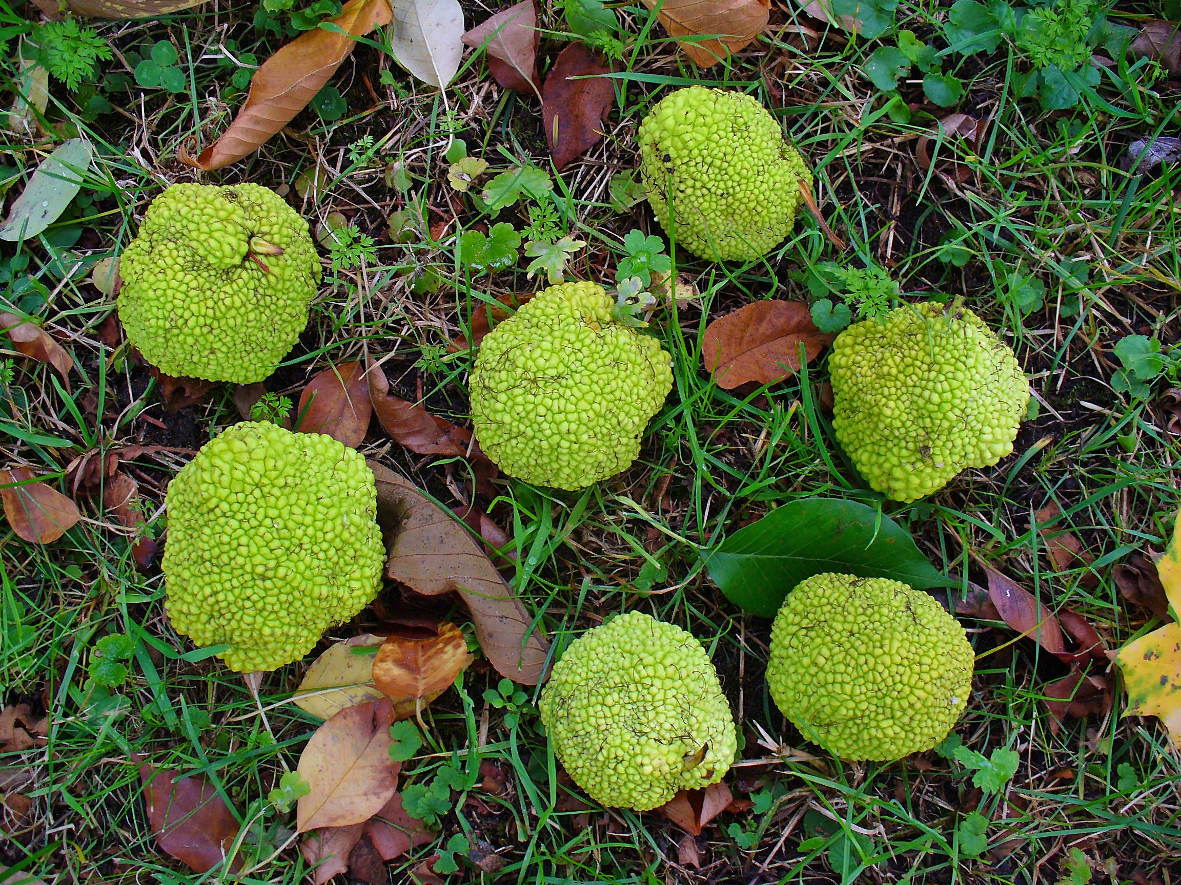 filemaclura pomifera 005jpg wikimedia commons